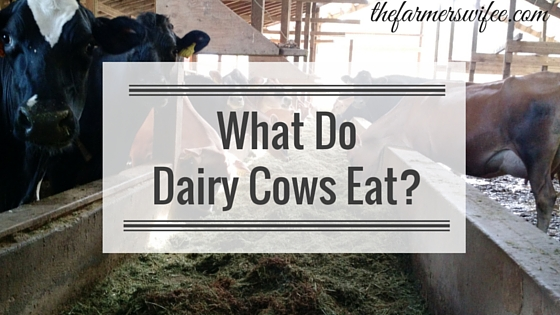 What Do Dairy Cows Eat?